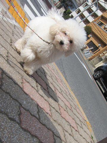 プードルフントヒュッテ東京トイプードルかわいい子犬こいぬ文京区本駒込hundehutte仔犬プードルショータイプブリーダープードルカットトイプードル画像700.jpg