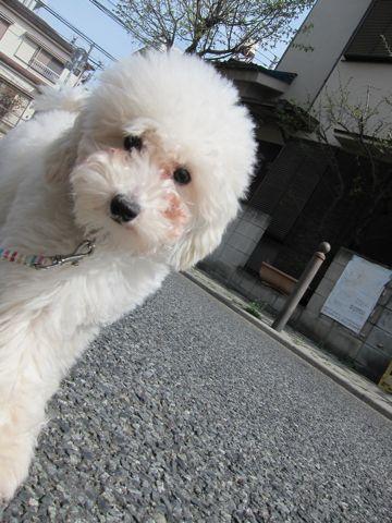 プードルフントヒュッテ東京トイプードルかわいい子犬こいぬ文京区本駒込hundehutte仔犬プードルショータイプブリーダープードルカットトイプードル画像701.jpg