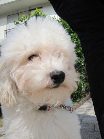 プードルフントヒュッテ東京トイプードルかわいい子犬こいぬ文京区本駒込hundehutte仔犬プードルショータイプブリーダープードルカットトイプードル画像703.jpg