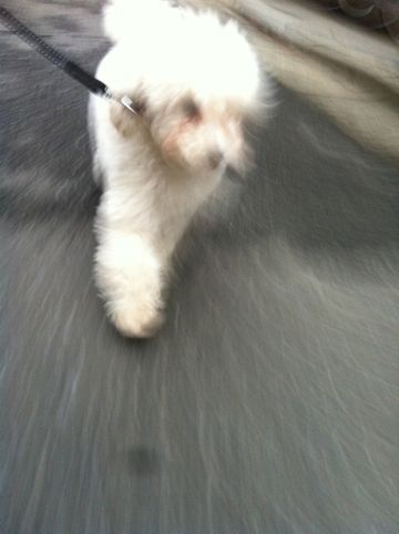 プードルフントヒュッテ東京トイプードルかわいい子犬こいぬ文京区本駒込hundehutte仔犬プードルショータイプブリーダープードルカットトイプードル画像706.jpg
