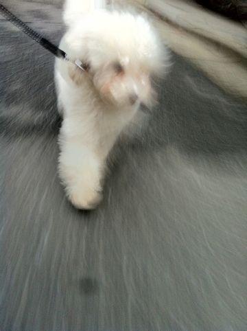 プードルフントヒュッテ東京トイプードルかわいい子犬こいぬ文京区本駒込hundehutte仔犬プードルショータイプブリーダープードルカットトイプードル画像707.jpg