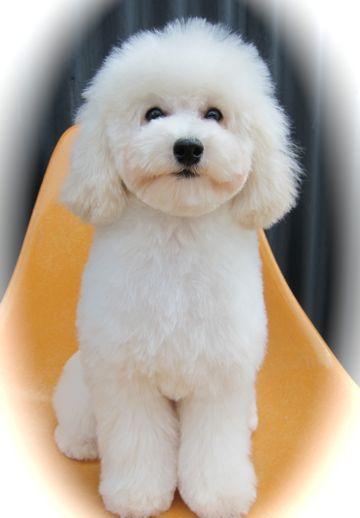 プードルフントヒュッテ東京トイプードルかわいい子犬こいぬ文京区本駒込hundehutte仔犬プードルショータイプブリーダープードルカットトイプードル画像714.jpg