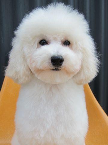 プードルフントヒュッテ東京トイプードルかわいい子犬こいぬ文京区本駒込hundehutte仔犬プードルショータイプブリーダープードルカットトイプードル画像715.jpg