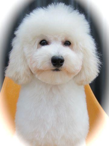プードルフントヒュッテ東京トイプードルかわいい子犬こいぬ文京区本駒込hundehutte仔犬プードルショータイプブリーダープードルカットトイプードル画像716.jpg