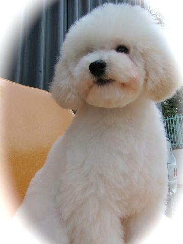 プードルフントヒュッテ東京トイプードルかわいい子犬こいぬ文京区本駒込hundehutte仔犬プードルショータイプブリーダープードルカットトイプードル画像720.jpg