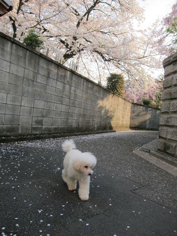 プードルフントヒュッテ東京トイプードルかわいい子犬こいぬ文京区本駒込hundehutte仔犬プードルショータイプブリーダープードルカットトイプードル画像725.jpg