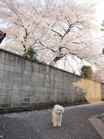 プードルフントヒュッテ東京トイプードルかわいい子犬こいぬ文京区本駒込hundehutte仔犬プードルショータイプブリーダープードルカットトイプードル画像726.jpg
