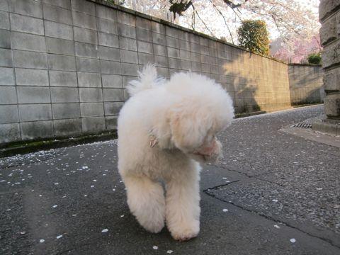 プードルフントヒュッテ東京トイプードルかわいい子犬こいぬ文京区本駒込hundehutte仔犬プードルショータイプブリーダープードルカットトイプードル画像727.jpg