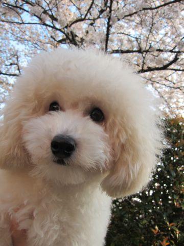 プードルフントヒュッテ東京トイプードルかわいい子犬こいぬ文京区本駒込hundehutte仔犬プードルショータイプブリーダープードルカットトイプードル画像730.jpg