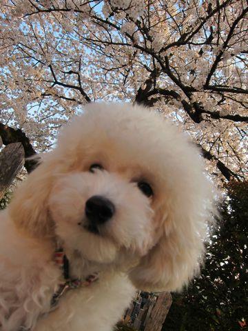 プードルフントヒュッテ東京トイプードルかわいい子犬こいぬ文京区本駒込hundehutte仔犬プードルショータイプブリーダープードルカットトイプードル画像731.jpg