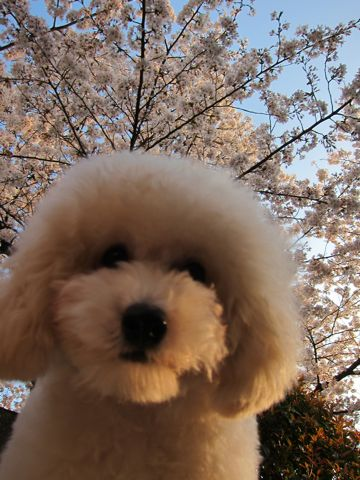 プードルフントヒュッテ東京トイプードルかわいい子犬こいぬ文京区本駒込hundehutte仔犬プードルショータイプブリーダープードルカットトイプードル画像732.jpg