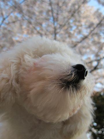 プードルフントヒュッテ東京トイプードルかわいい子犬こいぬ文京区本駒込hundehutte仔犬プードルショータイプブリーダープードルカットトイプードル画像733.jpg