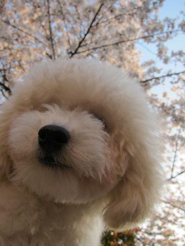 プードルフントヒュッテ東京トイプードルかわいい子犬こいぬ文京区本駒込hundehutte仔犬プードルショータイプブリーダープードルカットトイプードル画像734.jpg