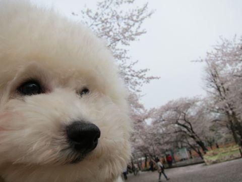 プードルフントヒュッテ東京トイプードルかわいい子犬こいぬ文京区本駒込hundehutte仔犬プードルショータイプブリーダープードルカットトイプードル画像737.jpg