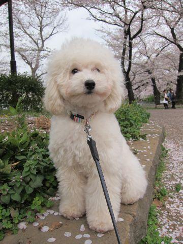 プードルフントヒュッテ東京トイプードルかわいい子犬こいぬ文京区本駒込hundehutte仔犬プードルショータイプブリーダープードルカットトイプードル画像738.jpg
