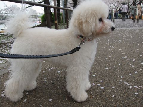 プードルフントヒュッテ東京トイプードルかわいい子犬こいぬ文京区本駒込hundehutte仔犬プードルショータイプブリーダープードルカットトイプードル画像741.jpg