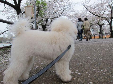 プードルフントヒュッテ東京トイプードルかわいい子犬こいぬ文京区本駒込hundehutte仔犬プードルショータイプブリーダープードルカットトイプードル画像742.jpg