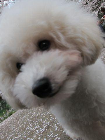 プードルフントヒュッテ東京トイプードルかわいい子犬こいぬ文京区本駒込hundehutte仔犬プードルショータイプブリーダープードルカットトイプードル画像754.jpg