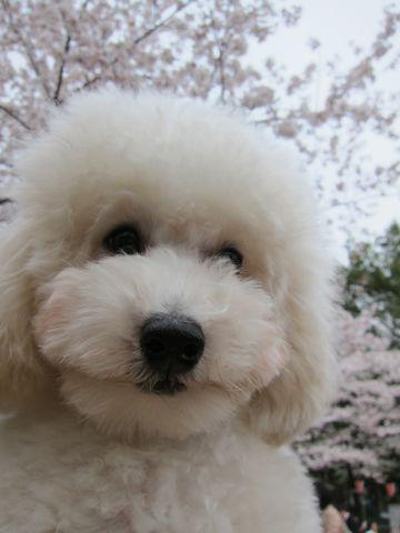 プードルフントヒュッテ東京トイプードルかわいい子犬こいぬ文京区本駒込hundehutte仔犬プードルショータイプブリーダープードルカットトイプードル画像756.jpg