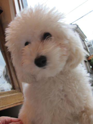 プードルフントヒュッテ東京トイプードルかわいい子犬こいぬ文京区本駒込hundehutte仔犬プードルショータイプブリーダープードルカットトイプードル画像761.jpg