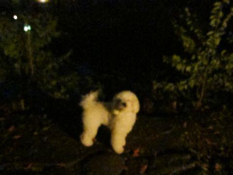 プードルフントヒュッテ東京トイプードルかわいい子犬こいぬ文京区本駒込hundehutte仔犬プードルショータイプブリーダープードルカットトイプードル画像771.jpg
