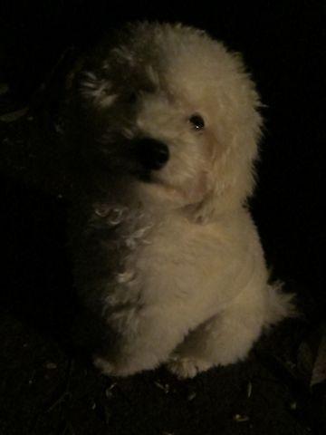 プードルフントヒュッテ東京トイプードルかわいい子犬こいぬ文京区本駒込hundehutte仔犬プードルショータイプブリーダープードルカットトイプードル画像773.jpg