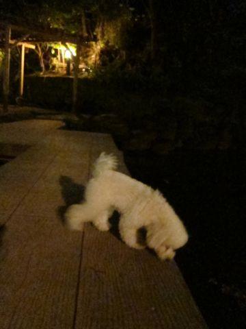 プードルフントヒュッテ東京トイプードルかわいい子犬こいぬ文京区本駒込hundehutte仔犬プードルショータイプブリーダープードルカットトイプードル画像777.jpg