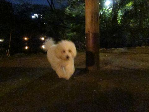 プードルフントヒュッテ東京トイプードルかわいい子犬こいぬ文京区本駒込hundehutte仔犬プードルショータイプブリーダープードルカットトイプードル画像779.jpg
