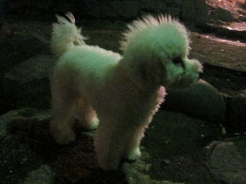 プードルフントヒュッテ東京トイプードルかわいい子犬こいぬ文京区本駒込hundehutte仔犬プードルショータイプブリーダープードルカットトイプードル画像783.jpg