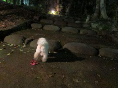 プードルフントヒュッテ東京トイプードルかわいい子犬こいぬ文京区本駒込hundehutte仔犬プードルショータイプブリーダープードルカットトイプードル画像786.jpg