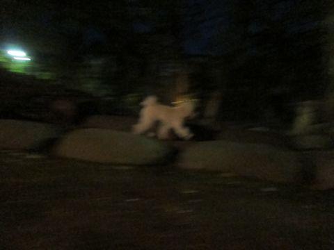 プードルフントヒュッテ東京トイプードルかわいい子犬こいぬ文京区本駒込hundehutte仔犬プードルショータイプブリーダープードルカットトイプードル画像787.jpg