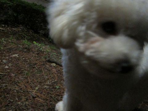 プードルフントヒュッテ東京トイプードルかわいい子犬こいぬ文京区本駒込hundehutte仔犬プードルショータイプブリーダープードルカットトイプードル画像788.jpg