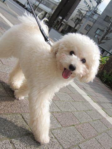 プードルフントヒュッテ東京トイプードルかわいい子犬こいぬ文京区本駒込hundehutte仔犬プードルショータイプブリーダープードルカットトイプードル画像789.jpg