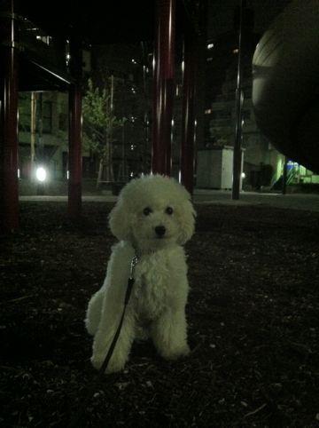 プードルフントヒュッテ東京トイプードルかわいい子犬こいぬ文京区本駒込hundehutte仔犬プードルショータイプブリーダープードルカットトイプードル画像790.jpg