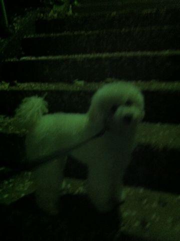 プードルフントヒュッテ東京トイプードルかわいい子犬こいぬ文京区本駒込hundehutte仔犬プードルショータイプブリーダープードルカットトイプードル画像791.jpg