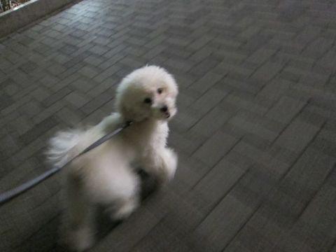プードルフントヒュッテ東京トイプードルかわいい子犬こいぬ文京区本駒込hundehutte仔犬プードルショータイプブリーダープードルカットトイプードル画像792.jpg