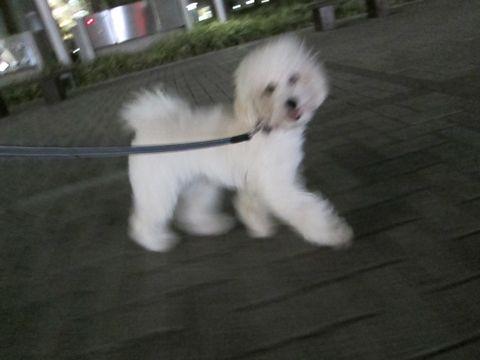 プードルフントヒュッテ東京トイプードルかわいい子犬こいぬ文京区本駒込hundehutte仔犬プードルショータイプブリーダープードルカットトイプードル画像796.jpg