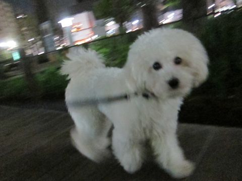 プードルフントヒュッテ東京トイプードルかわいい子犬こいぬ文京区本駒込hundehutte仔犬プードルショータイプブリーダープードルカットトイプードル画像798.jpg