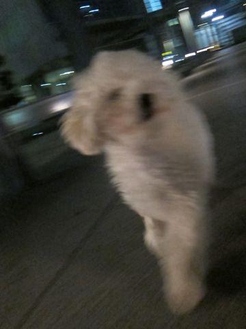 プードルフントヒュッテ東京トイプードルかわいい子犬こいぬ文京区本駒込hundehutte仔犬プードルショータイプブリーダープードルカットトイプードル画像800.jpg
