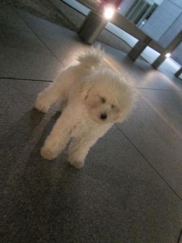 プードルフントヒュッテ東京トイプードルかわいい子犬こいぬ文京区本駒込hundehutte仔犬プードルショータイプブリーダープードルカットトイプードル画像801.jpg