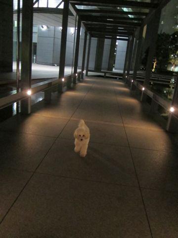プードルフントヒュッテ東京トイプードルかわいい子犬こいぬ文京区本駒込hundehutte仔犬プードルショータイプブリーダープードルカットトイプードル画像802.jpg