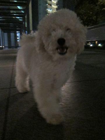 プードルフントヒュッテ東京トイプードルかわいい子犬こいぬ文京区本駒込hundehutte仔犬プードルショータイプブリーダープードルカットトイプードル画像803.jpg