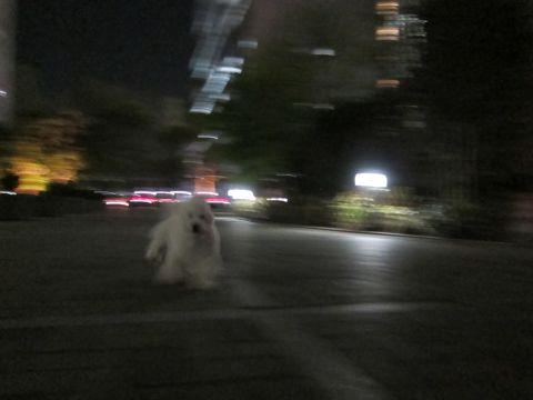 プードルフントヒュッテ東京トイプードルかわいい子犬こいぬ文京区本駒込hundehutte仔犬プードルショータイプブリーダープードルカットトイプードル画像806.jpg