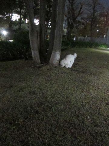 プードルフントヒュッテ東京トイプードルかわいい子犬こいぬ文京区本駒込hundehutte仔犬プードルショータイプブリーダープードルカットトイプードル画像810.jpg