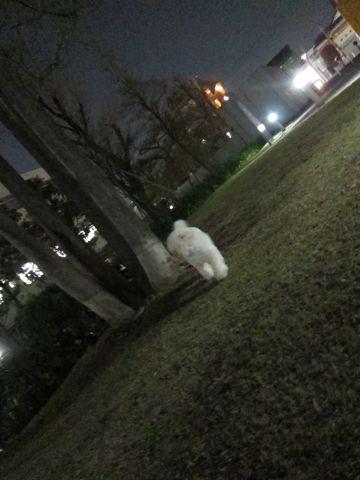 プードルフントヒュッテ東京トイプードルかわいい子犬こいぬ文京区本駒込hundehutte仔犬プードルショータイプブリーダープードルカットトイプードル画像811.jpg