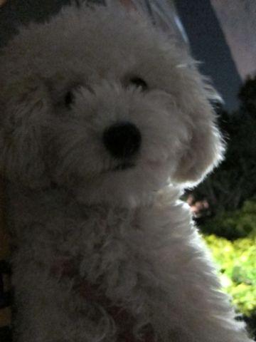 プードルフントヒュッテ東京トイプードルかわいい子犬こいぬ文京区本駒込hundehutte仔犬プードルショータイプブリーダープードルカットトイプードル画像813.jpg