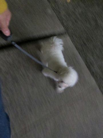 プードルフントヒュッテ東京トイプードルかわいい子犬こいぬ文京区本駒込hundehutte仔犬プードルショータイプブリーダープードルカットトイプードル画像814.jpg