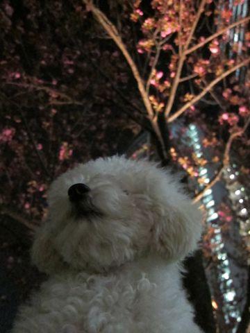 プードルフントヒュッテ東京トイプードルかわいい子犬こいぬ文京区本駒込hundehutte仔犬プードルショータイプブリーダープードルカットトイプードル画像819.jpg