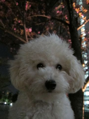 プードルフントヒュッテ東京トイプードルかわいい子犬こいぬ文京区本駒込hundehutte仔犬プードルショータイプブリーダープードルカットトイプードル画像820.jpg