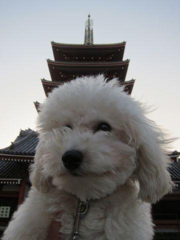 プードルフントヒュッテ東京トイプードルかわいい子犬こいぬ文京区本駒込hundehutte仔犬プードルショータイプブリーダープードルカットトイプードル画像831.jpg